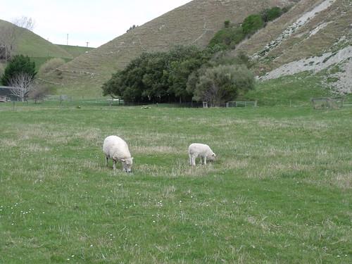 Ovejas neozelandesas (merinas!)