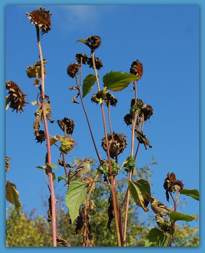 American Goldfinches On Sunflowers