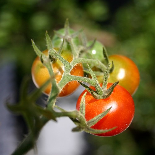 Red tomatoes I