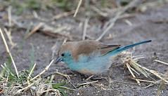 Blue Waxbill (buddy4344) Tags: botswana chobe bluewaxbill uraeginthusangolensis bluebreastedcordonbleu wwwchobesafaricom