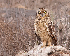 Coruja-do-nabal/ Short-eared owl (António Guerra) Tags: nature birds wildlife natureza birdsinportugal avesemportugal aves birdwatching vidaselvagem shortearedowl asioflammeus corujadonabal specanimal mywinners theperfectphotographer natureselegantshots paololivornosfriends
