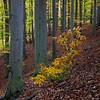 From the woods IV (David Pinzer) Tags: wood autumn tree fall nature leaves forest square woods laub herbst natur foliage trunk wald baum beech quadrat buche stamm blätte gettygermanyq3