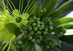 Golden Penda in bud - (Xanthostemon chrysanthus) Floral Emblem of Cairns (Ingrid Douglas Images - ART in Photography) Tags: yellowflowers myrtaceae goldenpenda xanthostemonchrysanthus arfp qrfp ingridinoz perfectoartsdreamcaptures tropicalfloweringtree fabuloustropicalfloweringtree goldenpendaxanthostemonchrysanthus emblemflowerofcairnsqueenslandaustralia birdattractingfloweringtrees yellowarfflowers tropicalarf
