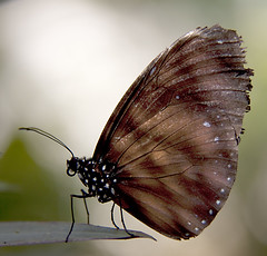 Butterfly (a.j.mck) Tags: philippines bohol