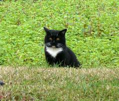 CIMG2255 Friulian country cat close up (pinktigger) Tags: cats cat feline felines