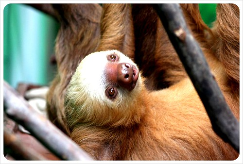 two fingered sloth in Monteverde Costa Rica