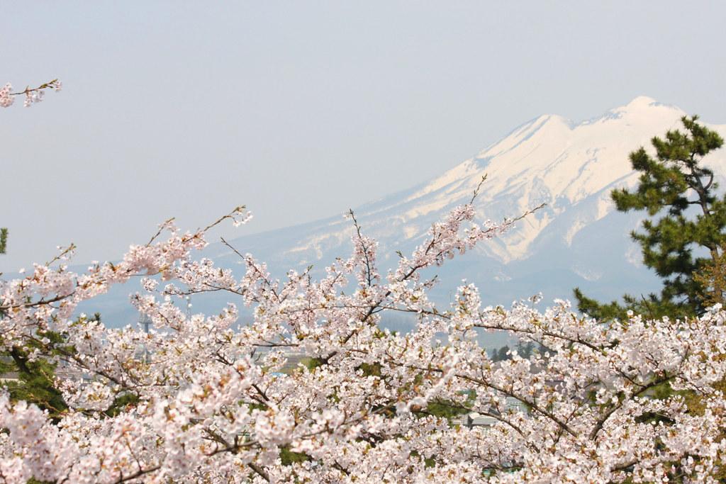 Hirosaki Park Sakura (19)