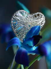 Will you be my Valentine? (Ptolemy the Cat) Tags: macromondays heart valentine love blue flower orchid singaporeorchid blur nikond600 tamronf2890mmmacrolens