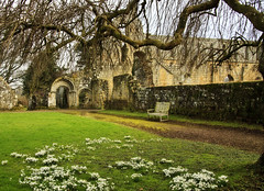 Snowdrops at Jervaulx (maureen bracewell) Tags: england jervaulxabbey uk abbey building flowers historic snowdrops winter yorkshire ruin cistercianmonastery architecture tree bench quiet peaceful monastery maureenbracewell saariysqualitypictures callingallangels