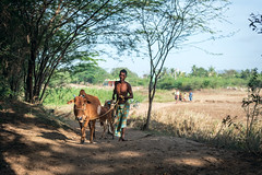 Village Life (Vilvesh) Tags: cwc chennaiweekendclickers nikond750 nikon24120mm nikon50mm village tamilnadu india ponpathirkoodam agriculture farmer love affection cow goat