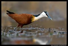 Beauty of The Nature (asifsherazi) Tags: africanjacana lakebaringo kenya asifsherazi