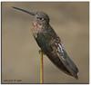Hanging by the Thread (iCamPix.Net) Tags: bird canon hummingbird hummer markiii1ds