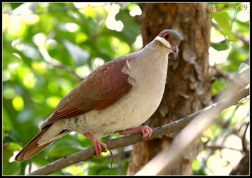 Key West quail dove