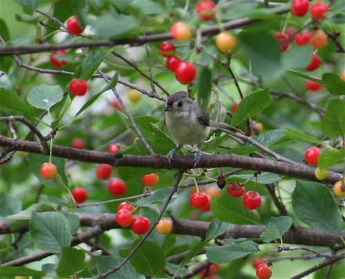 cherry titmouse
