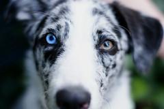 Lucky (_David_Meister_) Tags: blue orange dog pet eye animal yellow germany deutschland 50mm eyes focus dof bokeh f14 domestic hund gelb blau augen auge haustier tier fokus domesticanimal omot impressedbeauty davidmeister australiansheppert