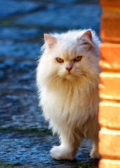 Johny Persa (Schinke) Tags: rio brasil cat de janeiro minolta sony harry f45 gato danilo teresopolis persa 400mm a700 schinke