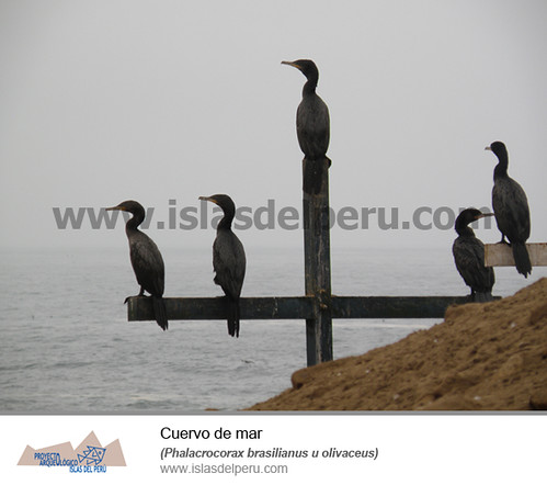 Cuervo de mar (Phalacrocorax brasilianus u olivaceus)