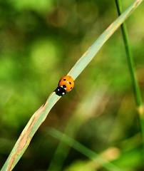 Ladybug (Johann Ingi) Tags: orange green nature canon insect bokeh beetle shell straw spots ladybug dots 400d johanningi