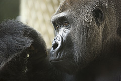Gorilla (Teri Bertin Images) Tags: zooanimals potofgold milwaukeezoo closeupanimals