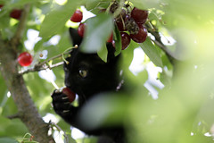 Luca knibbling on a cherry (.sxf) Tags: blackcat cherry luca cherries kitten cutecat kirschen kirschbaum schwarzekatze blackkitten katzeimkirschbaum catincherrytree