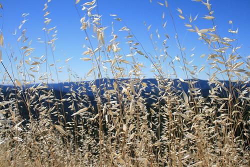 Wild Grasses IV