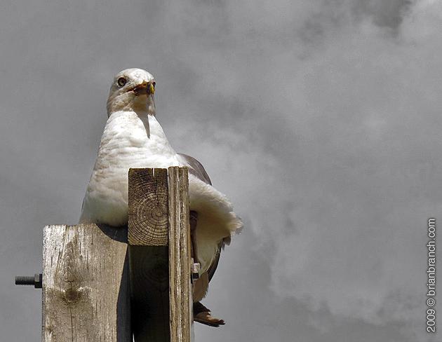 P1030448_seagull