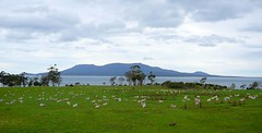 Sheep, Maria Island in the background