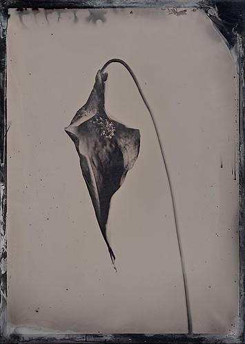 Spatiphyllum floribudum