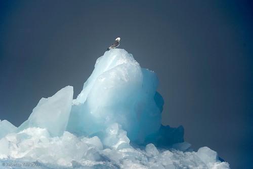 Kittiwake on Iceberg, Svalbard