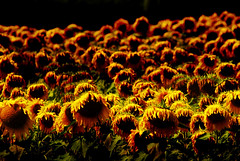 A Dying Breed (tomwang24) Tags: rot decay sunflower shrivel hunched fieldofflowers