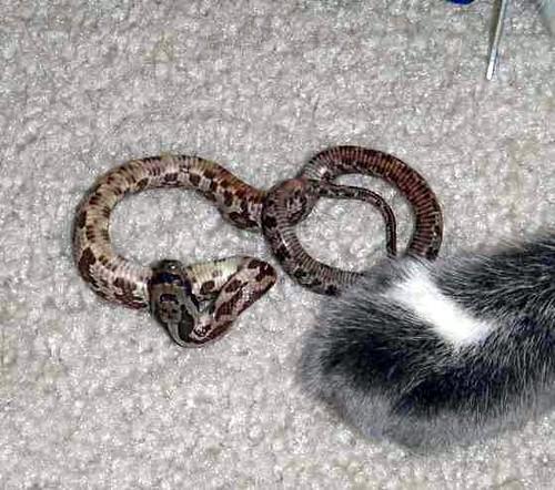 Juvenile Texas Rat Snake - a photo on Flickriver