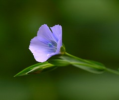 Flax / Lin / Pellava (Liisamaria) Tags: friends beautifulshot languageofflowers colorphotoaward freenature flowersarebeautiful diamondstars natureislovely goldstaraward excellentsflowers natureselegantshots flowersbudsandblossoms mimamorflowers awesomeblossoms flickrflorescloseupmacros panoramafotogrfico oneflowerperday saariysqualitypictures thebestofmimamorsgroups saariysgallery floralfantasia perfectpetails mamasbloomers