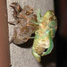 Freshly emerged cicada by Rach
