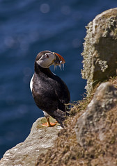 Puffin carrying sandeels ('Shroom Illusions Photography) Tags: puffin shetland foula clownofthesea