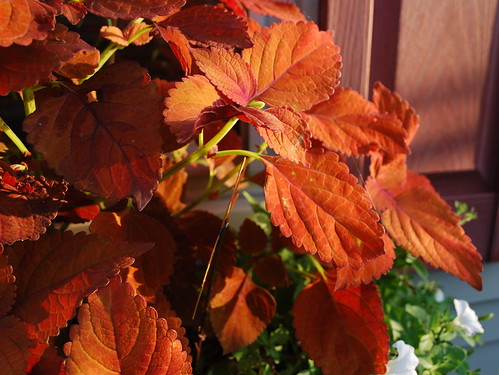 Last Days of Summer - Coleus