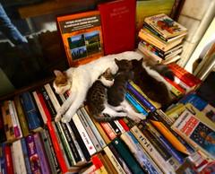 (nilgun erzik) Tags: istanbul taksim kedi sahaf fotografkraathanesi velvetpaws fotografca biyerlerde kitaplar kediyavrular eylul2009 yazhalabitmedi