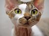 Aspen the Devon (kotobuki711) Tags: cute male cat nose eyes kitten dof sweet bokeh tabby ears whiskers curly curious wrinkles devonrex molting devonshirerex intrigued canon50d