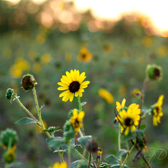 sunflowers at the ranch