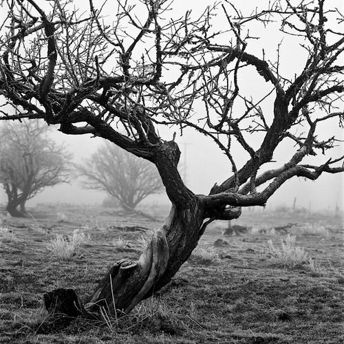 Tree in Fog