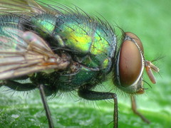 Green bottle fly -- the mug shot (Aylesbury_Mark) Tags: macro canon fly powershot greenbottle blowfly a650 raynoxdcr250 a650is thiswouldbeabetterupload forthursdayhggtbuti wanttogetthebugshotsoutof thewayassoonaspossible