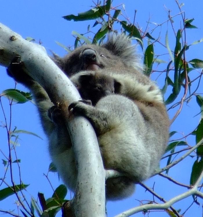 mama and baby koala 02