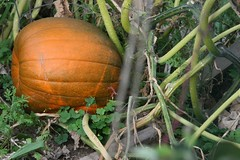 Copy of my ripening pumpkin