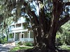 Huge, Ancient Oak Tree, Fernandina Beach