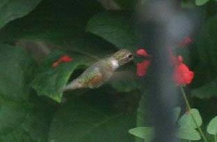 Rufous/Allens Hummingbird (c) 2009 Cynthia Allen