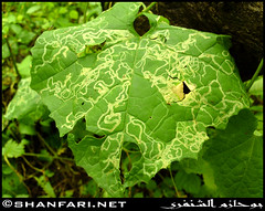 Wadi Darbat: Nature Map (Shanfari.net) Tags: flowers plants nature leaves leaf al natural ericsson sony greenery cave oman salalah  sultanate dhofar  khareef  haq      taqah    governate  madeinat   darbat taiq c905 maghsail  raythut