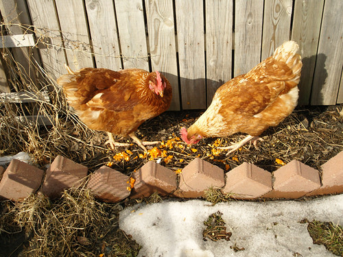 Chicken Winter Update