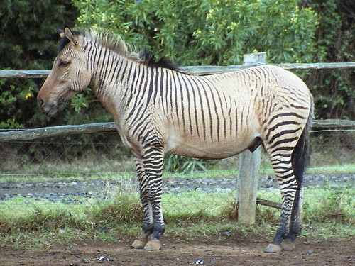 Zorse For Sale >> If You Put A Zebra On A Cremello Page 2 The Horse Forum