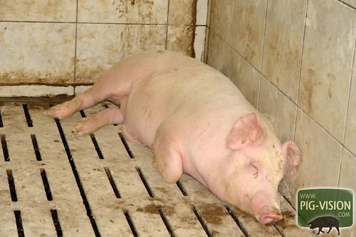 Das Leben in der Schweinemast