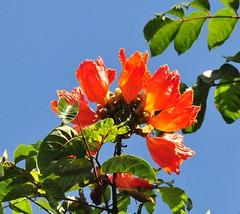 Tulip Tree (scott.labrake) Tags: tree ginger bottle brush bananas hibiscus pineapple tulip gecko impatiens pavonia
