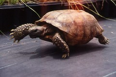 Gopher Tortoise on the Move